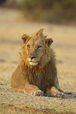Male lion laying in open field Royalty Free Stock Photo