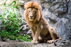 Male lion laying on the rock Stock Image