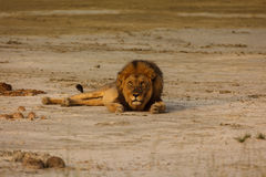 Male lion lays on sandy desert floor in Namibian desert looking at the photographer. Royalty Free Stock Image