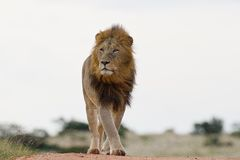 Male lion (leo panthera) Royalty Free Stock Photo