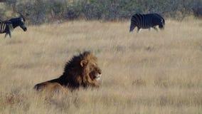 Free Male Lion Lick Tongue Zebras Etosha Namiba Royalty Free Stock Images - 49090069