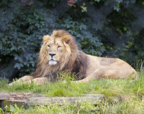 A Male Lion Lies in a Zoo Royalty Free Stock Photos