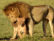 Male Lion and Lion Cub Stock Photography