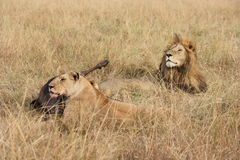 Male lion and lioness watch over dinner Stock Image