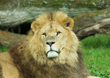 Male Lion at Longleat Wildlife Park Royalty Free Stock Photography