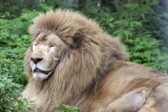 Male lion. Look at this eyes, was dozing or thinking about what to eat for dinner Royalty Free Stock Images