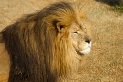 Male lion looking intently Royalty Free Stock Photo