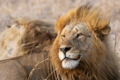 Male lion looking left stock image