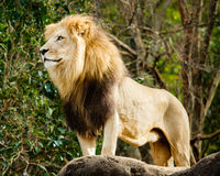 Male Lion Looking Out Atop Outcrop Royalty Free Stock Images