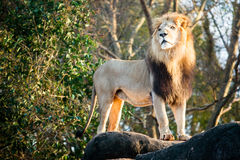 Male lion looking out atop outcrop Stock Images
