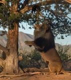 Male lion looking up in a tree. African male lion sitting up and looking to climb a tree Stock Photo