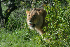 Male lion on the lookout Royalty Free Stock Images