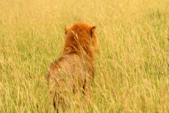 Male Lion Looks Into Grassy Savannah from Behind. A male lion looks into the grassy savannah of Uganda.  Camera view is from directly behind the lion seeing what Stock Images