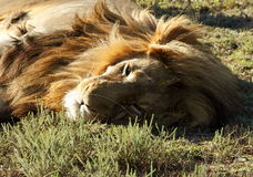 Male lion lying in the afternoon sun. Close view of a resting male lion in the afternoon sun Royalty Free Stock Photography