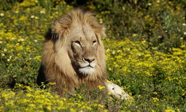 Male lion lying amoungst the flowers. South Africa. A male lion portrait. Golden sunlight ignite his intense eyes. South Africa Stock Photos
