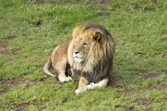 Male lion lying Stock Image