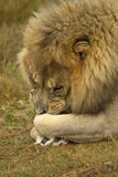 Male lion lying down Royalty Free Stock Image