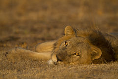 Male lion lying down looking at the camera. Male Lion (Panthera leo) lying down looking at the camera Royalty Free Stock Images
