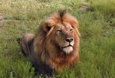 Male lion lying in the grass Royalty Free Stock Photos