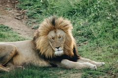 A male lion lying on the grass with his eyes closed. During the day royalty free stock photography