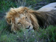 Male lion lying on grass looking at camera royalty free stock photography
