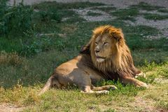 Male lion lying. On the grass near shadow Stock Image