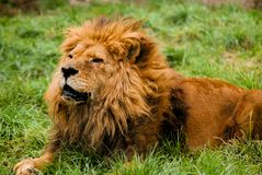 A male lion resting royalty free stock photos