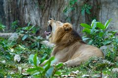 Male lion lying on grass and yawning with mouth wide open royalty free stock photography