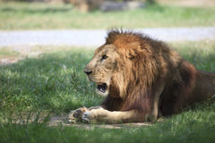 Male lion on lying on green grass field Stock Photo