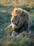 Male lion lying on green grass in South Africa with sunset side lighting royalty free stock images