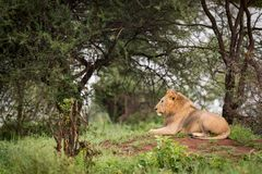 Male lion lying on mound in profile Royalty Free Stock Photography