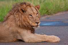 Male lion lying in a road Stock Photography