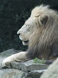 A Male Lion Lying On A Rock stock photos