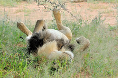 Male lion lying on it's back Stock Images