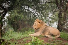 Male lion lying in woods in profile Stock Image