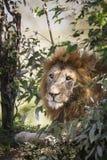 Male Lion. Maasai Mara National Reserve, Kenya, East Africa Stock Photo