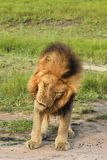Male lion making a snarling face Royalty Free Stock Photos