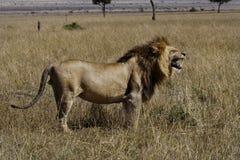 Male lion, Masai Mara Stock Photo