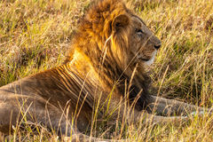 Male lion Royalty Free Stock Photo