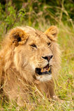 Male lion. In Masai Mara Kenya Africa Stock Image
