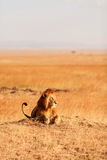 Male lion in Masai Mara Royalty Free Stock Photography