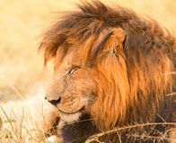 Male lion in Masai Mara Stock Images