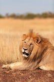 Male lion in Masai Mara Royalty Free Stock Photo