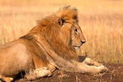 Male lion in Masai Mara Stock Photos