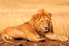 Male lion in Masai Mara Royalty Free Stock Images