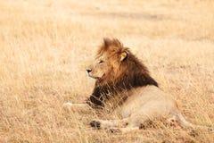 Male lion in Masai Mara Royalty Free Stock Photos