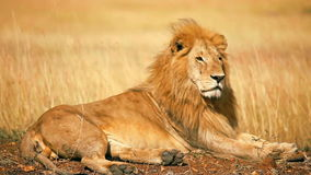 Male lion in Masai Mara. Male lion lying in the grass at sunset in Masai Mara, Kenya stock video footage