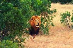 Male lion in Masai Mara Stock Photography