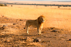 Male lion in Masai Mara Royalty Free Stock Photos