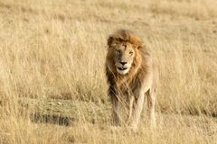 Male lion in the Masai Mara Stock Photo